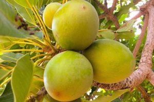 shan nuts tree